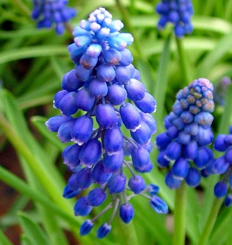 Blue Grape Hyacinth 64 Bulbs