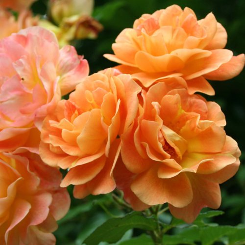 Rose Bush Climbing Apricot Flowering Rose