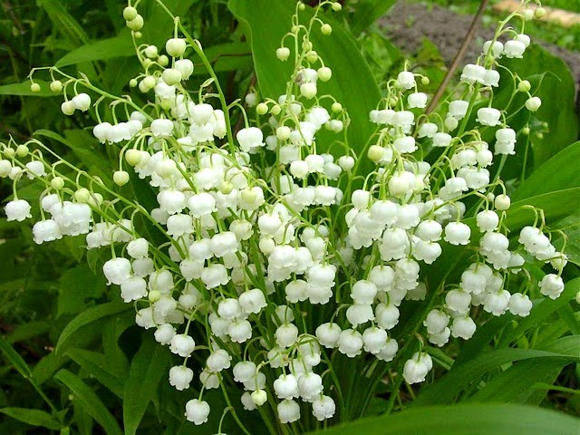 6 Plump Lily of the Valley Plants Bareroot