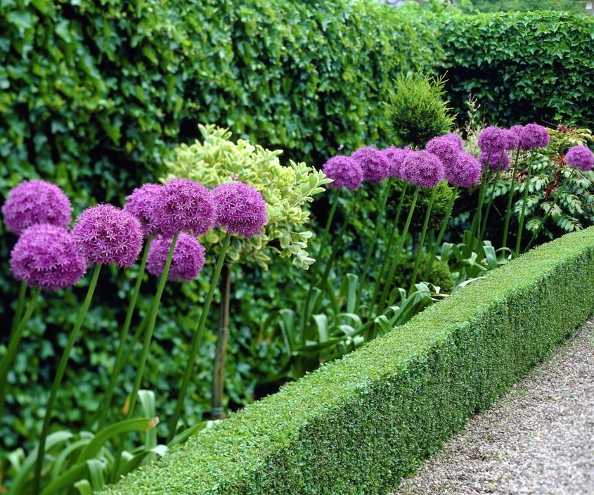 Giant Allium Giganteum Beautiful Flower Seeds Garden Plant