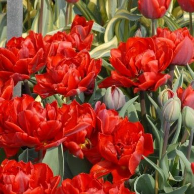 25 Tulip Red Princess