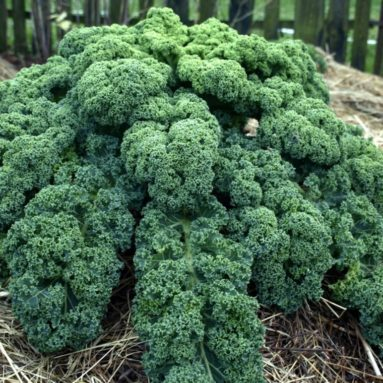 Earthcare Seeds Kale Blue Scotch Curled 500 Seeds