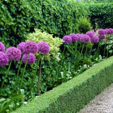 Giant Allium Giganteum Beautiful Flower Seeds Garden Plant