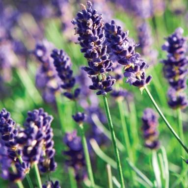 Munstead Lavender Herb – Perennial