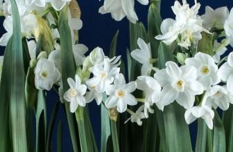 Narcissus Ariel Paperwhites