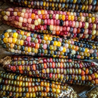 Organic Glass Gem Corn