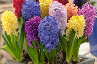 Pre-chilled Mixed Hyacinths
