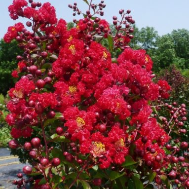 Red Crapemyrtle Tree