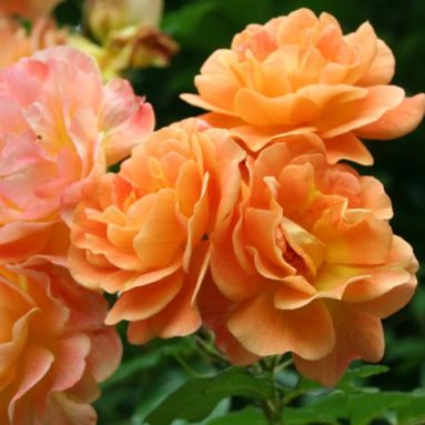 Rose Bush Climbing Apricot Flowering Rose