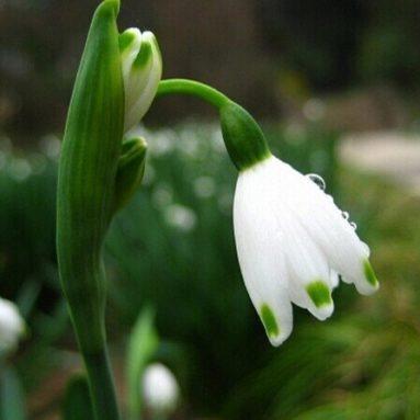 Snowdrop Flower seeds Beautiful garden