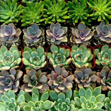 Stunning Succulent Rosettes from Shop Succulents Licensed Nursery